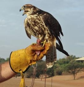 Our falcon friend